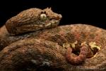 Greifschwanz-Lanzenotter männl. (Bothriechis schlegelii), Eyelash Palm-Pitviper male