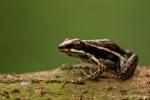 Marmorierter Baumsteiger - Pfeilgiftfrosch (Epipedobates boulengeri), Marbled Poison Frog