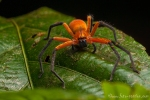 Bananenspinne (Cupiennius getazi), Rusty Wandering Spider