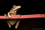Baumfrosch (Hypsiboas lanciformis), Basin Treefrog