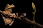 Gladiator Baumfrosch (Hypsiboas boans), Gladiator treefrog