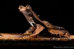 Kuhfrosch (Edalorhina perezi), Cowfrog