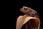 Oberer Amazonas Regenfrosch (Pristimantis altamazonicus), Upper-Amazon Rainfrog