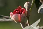 Blüte einer Granatapfel-Art