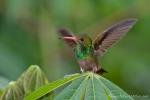 Kolibri (Nektarvogel)