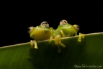 Glasfrosch (Espadarana prosoblepon), Emerald Glassfrog