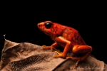 Giftfrosch (Oophaga sylvatica), Little-Devil Poison Frog