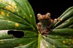 Rosenberg`s Gladiator Frosch (Hypsiboas rosenbergi) , Rosenberg`s Gladiator-Frog