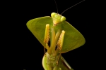 Gottesanbeterin (Choeradodis sp), Praying Mantis
