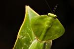 Gottesanbeterin (Choeradodis sp), Praying Mantis