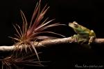 Baumfrosch (Hypsiboas pellucens), Palmar Treefrog