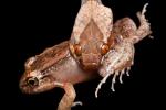 Gebänderte Katzenaugennatter mit einem Pfeiffrosch (Leptodeira ornata and Leptodactylus melanonotus), Northern cat-eyed snake and Black Jungle Frogs