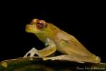 Rotaugen-Glasfrosch (Cochranella litoralis), Red-Eyed Glassfrog