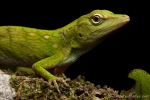 Grüne Anole (Anolis biporcatus), Green Anolis