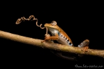 Baumfrosch (Hypsiboas maculateralis), Side-spotted treefrog