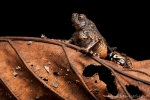 (Engystomops petersi), Amazonian Rioter-Frog