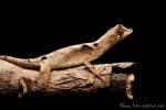 Wagler's Anole (Anolis scypheus), Dim anole