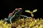 Giftfrosch - Ecuador Baumsteiger (Ameerega bilinguis), Ruby Poison Frog