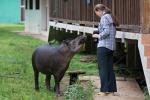 Ziemlich schlaues und sehr verfressenes Tapir-Kind