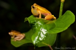 Oberer Amazonas Baumfrosch (Dendropsophus bifurcus), Royal Clownfrog