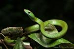 Grüne Spitzkopfnatter (Chironius scurrulus), Rusty whipsnake