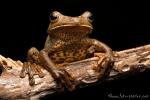 Großer Gladiator Baumfrosch (Hypsiboas boans), Giant Gladiator Treefrog