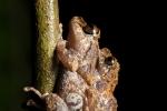 Amazonischer Regenfrosch (Pristimantis altamazonicus), Upper Amazon Rainfrog
