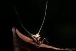 Langhornspinne (Gasteracantha arcuata), long horn spider