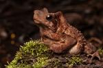 Falllaubkröte (Rhinella dapsilis), Sharp-snouted Toad