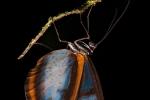 Glasflügel-Schmetterling, Glasswing butterfly
