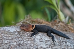 Dornschwanzleguan (Uracentron flaviceps), Tropical Thornytail-Iguana