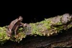 Falllaubkrötchen (Rhinella margaritifera), Mitred Toad