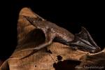 Amazonas Wabenkröte (Pipa pipa), Surinam Toad