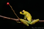Baumfrosch (Hypsiboas cinerascens), Ashy Treefrog