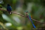 Diese Kolibris sind endemisch