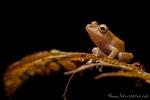Regenfrosch ((Pristimantis nyctophylax), Watchful Rainfrog
