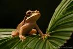 Costa-Rica-Laubfrosch oder auch Masken-Laubfrosch (Smilisca phaeota), New Granada Cross-banded Treefrog