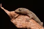 Zwerggecko (Gonatodes caudiscutatus)
