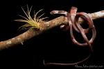 Schnecken-Esser (Dipsas temporalis), Snail-eater