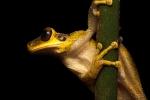 Baumfrosch (Osteocephalus yasuni), Yasuni Spinyback