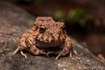 Regenfrosch (Oreobates quixensis), Amazonian Groundfrog