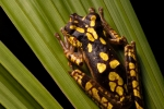 Baumfrosch (Hypsiboas picturatus), Imbabura treefrog