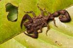 Skorpion (Tityus pachyurus), Scorpion