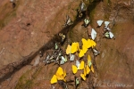Schmeterlinge an einer mineralischen Tonwand
