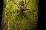 Schwanzloser Peitschen-Skorpion (Phrynus gervaisii), Tailless Whip Scorpion