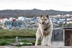 Überall sind Schlittenhunde geparkt