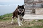 Ein ganz besonders verspielter Schlittenhund