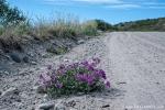 Arktische Weidenröschen (Chamerion latifolium)