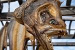 Heilbutt - an den scharfen Zähnen erkennt man den Raubfisch