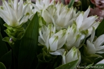 Curcuma-Blüten